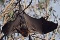 Fruit Bat (flying fox) (36718057025).jpg