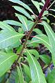 Fuchsia arborescens 2015 (D).JPG