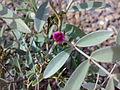 Fujeirah north 1501200713098 Tephrosia apollinea.jpg