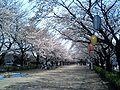 Fujimino Chuo Park cherry blossom.JPG