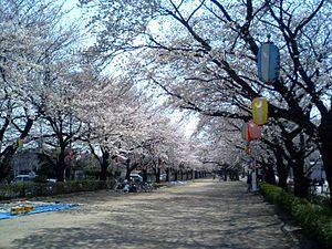Fujimino, Saitama - Chuo Park during the cherry blossom season