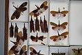 Fulgoridae Drawers - 5036114535.jpg