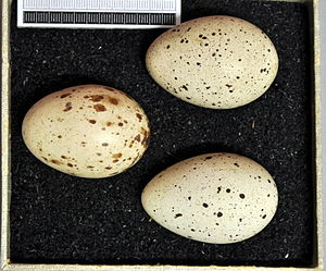 Red-knobbed coot - Eggs. Collection of the Museum Wiesbaden.
