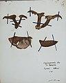 Fungi agaricus seriesI 050.jpg