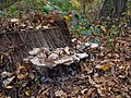 Fungus on a tree stump in the New York Botanical Garden (80837s).jpg