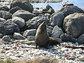 Fur seal at kaikoura.jpg