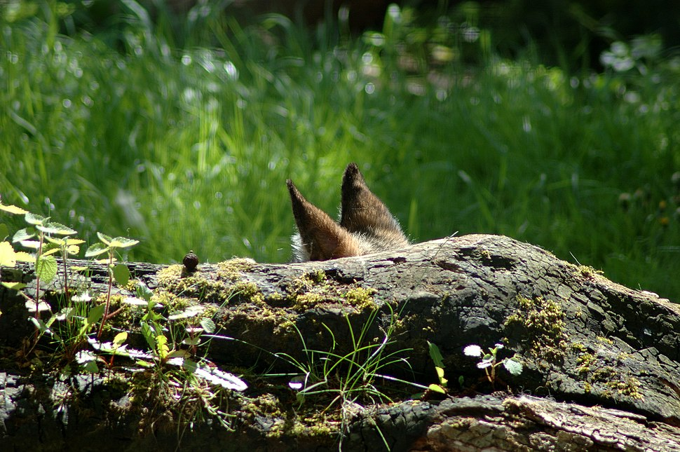 Furry Rock Ears