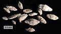 Fusulinids Topeka Limestone Virgilian Greenwood County KS.jpg