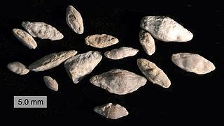 order of foraminifera (fossil)
