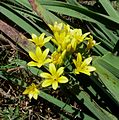Gagea lutea (Yellow Star of Bethelem) - Flickr - gailhampshire.jpg
