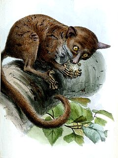Prince Demidoffs bushbaby Species of primate