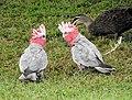 Galahs and Duck.jpg