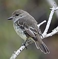 Galapagos flycatcher (47813641781).jpg