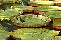 Gallinula chloropus on Victoria cruziana, Pamplemousses Botanical Garden, Mauritius - 20090707.jpg