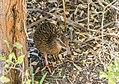 Gallirallus australis in Abel Tasman NP 13.jpg