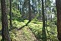 Gammal orörd skog på öns norra sida.jpg