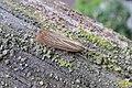 Garden grass-veneer (NH) (7821993114).jpg