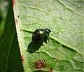 Gastrophysa viridula - Flickr - gailhampshire.jpg
