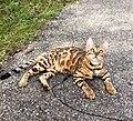 Gatto Bengala a passeggio al guinzaglio.jpg