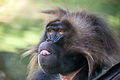 Gelada Baboon facial expression.jpg