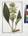 Gentiana major lutea - Genziana - Gentiane. (Great yellow gentian) (NYPL b14444147-1124941).tiff