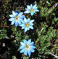 Gentiana sedifolia, from altitude in Columbia (9149322234).jpg