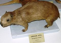 Geocapromys brownii (eksponat Museum of Comparitive Zoology, Harvard University)