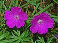 Geraniaceae - Geranium sanguineum-1.JPG