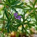 Geranium dissectum flower.jpg