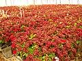 Geranium from gush katif.jpg