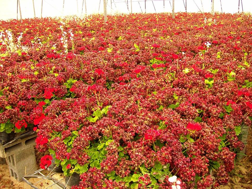 Geranium from gush katif