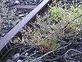 Geranium purpureum railway station Ruderalflora.jpg
