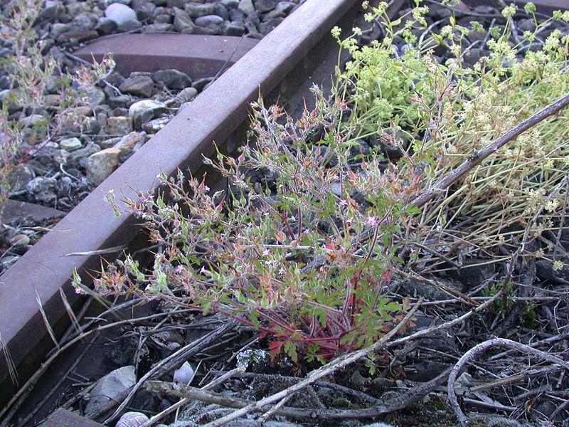 File:Geranium purpureum railway station Ruderalflora.jpg