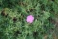 Geranium sanguineum kz05.jpg