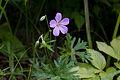 Geranium yesoense var. nipponicum 11.jpg