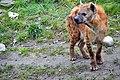 Gevlekte hyena (16871027099).jpg