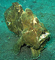 Giant FrogFish.jpg