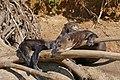 Giant Otters (Pteronura brasiliensis) resting in the sun ... - Flickr - berniedup (1).jpg