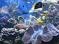 Giant clams and fish at Waikiki Aquarium.JPG