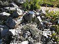 Giardino botanico alpino Viote - Leontopodium2.jpg
