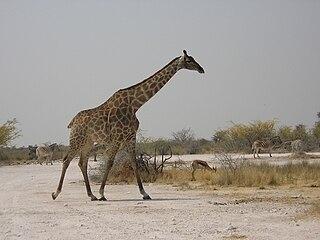 Course et régime de la Girafe dans GIRAFE 320px-Girafe_de_Namibie