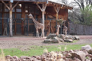 Magdeburg Zoo - Image: Giraffe Zoo Magdeburg