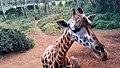 Giraffe at Giraffe Centre Nairobi, Kenya.jpg