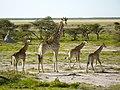 Giraffe met jongen (6521937825).jpg