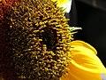 Girasol (Helianthus annuus) - Flickr - Alejandro Bayer (11).jpg