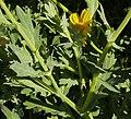 Glebionis segetum stem (07).jpg