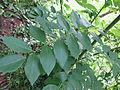 Gliricidia sepium - ശീമക്കൊന്ന 02.JPG