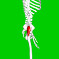 Gluteus minimus muscle06.png