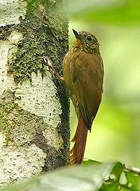 Glyphorynchus spirurus -NW Ecuador-8.jpg