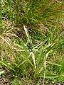 Gnaphalium norvegicum.jpg